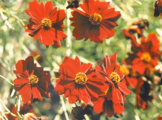 coreopsis tinctoria (Coreopsis tinctoria (Annual Coreopsis))