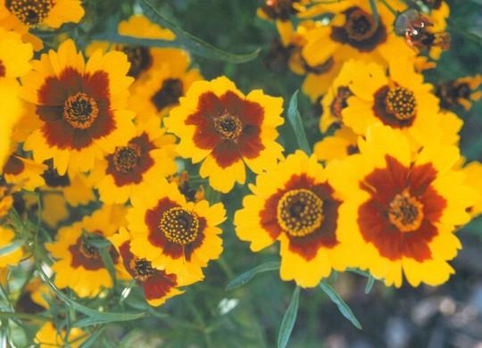 coreopsis - unknown (Coreopsis tinctoria (Annual Coreopsis))