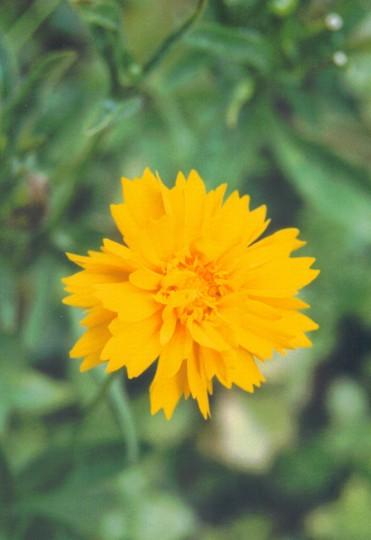 coreopsis jethro tull (Coreopsis grandiflora (Coreopsis Sunray))