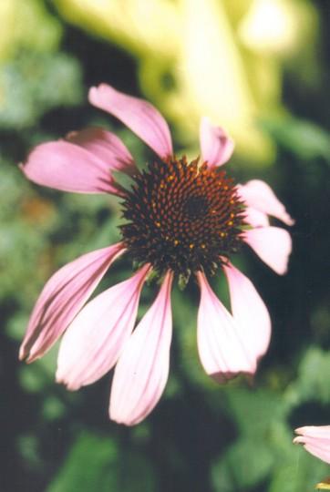 echinacea purpurpea (hebe)