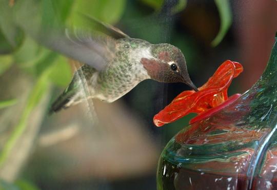 Closeup of Hummingbird