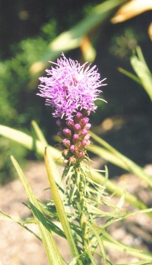 liatris spicata (Liatris spicata (Gayfeather))