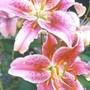 stargazer lilies (lilium stargazer)