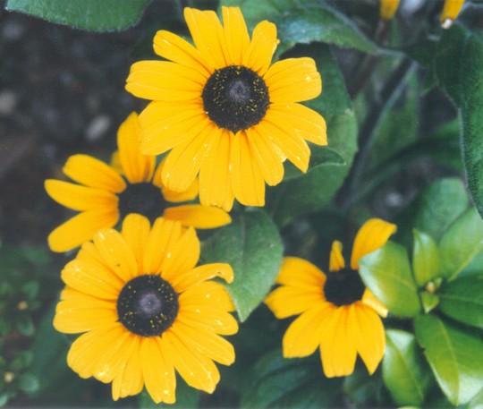 """rudbeckia """"Indian Summer"""" (Rudbeckia fulgida (Black-eyed Susan))"""