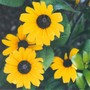 "rudbeckia ""Indian Summer"" (Rudbeckia fulgida (Black-eyed Susan))"