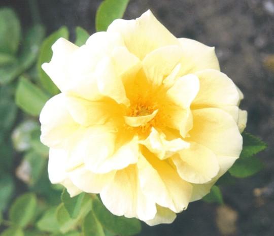 Rose Topaz Jewel (Rosa rugosa (Rugosa rose))
