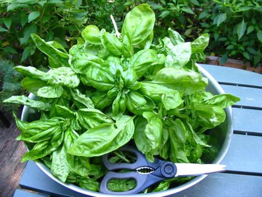 Basil harvest (Ocimum Basilicum Genovese)