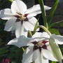 A garden flower photo (Acidanthera murieliae)