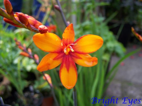 Crocosmia 'Bright Eyes'
