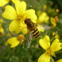 Hover_fly