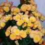 2_colour_Begonia.