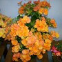 Begonia_orange_peach.