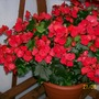 Red_Begonia.
