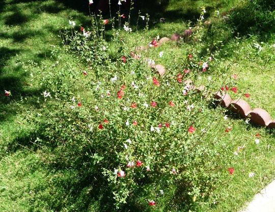 The Lipstick Plant (Salvia x 'Hot Lips')