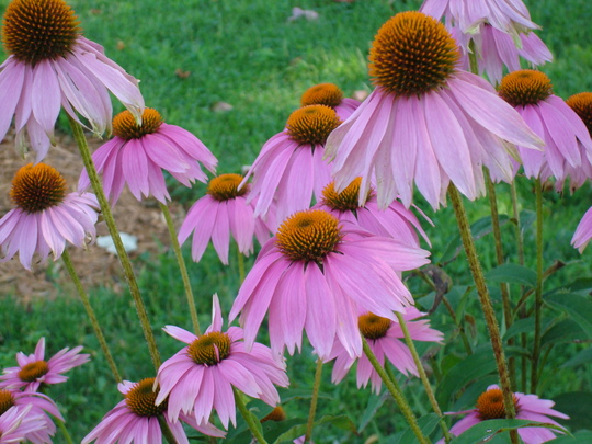 A garden flower photo (Echinacea Purpurea)