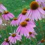 Pink_cone_flower