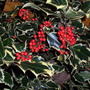 Variegated Holly (Ilex aquifolium Aureo Marginata)
