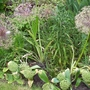 Allium Seed Heads (Allium)