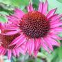 Echinacea_vintage_wine_