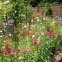 Penstemons and Poppies