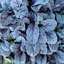 winter has arrived in essex! (Ajuga reptans)