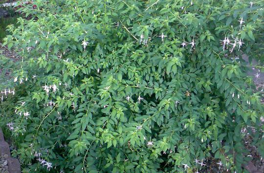 Fuchsia Magellanica Alba (Fuchsia magellanica (Hardy fuchsia))