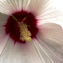 Close up of my hibiscus flower. (Hibiscus moscheutos (Giant Mallow Marvels))