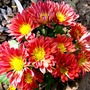 Red Chrysanths settling in to their new home in the red border at the front. (Chrysanthemum maximowiczii)