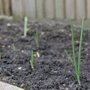 Overwintering onions sprouting