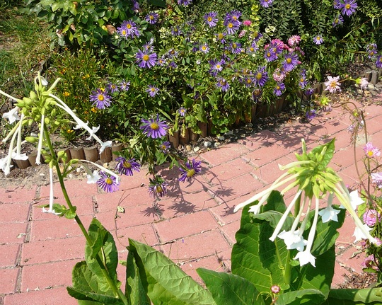 White Nicotiana (Nicotiana sylvestris (Tobacco plant))