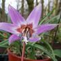 Dog Tooth Violet (Erythronium deris-canis)