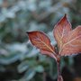 Autumn colours with frost (Weigela florida)