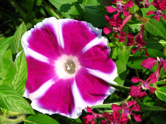 'Mtn. fuji' morning glory and cuphea 'summer medley'