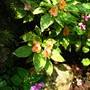 variegated 'butterfly'  impatiens