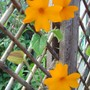 Clock Vine (Thunbergia gregorii)