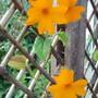 Clock Vine (Thunbergia gregorii)