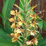 Ginger Lily (Hedychium &#x27;Tara&#x27;)