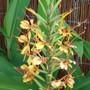 Ginger Lily (Hedychium 'Tara')