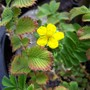 Geum species plant Ex. India