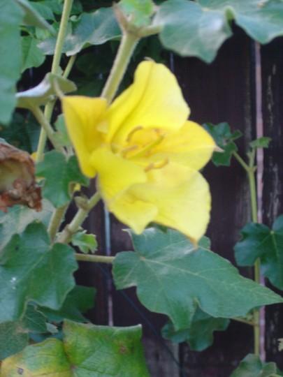 Californian Glory (Fremontodendron)