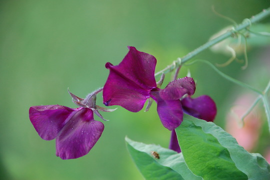 SweetPea (Lathyrus odoratus (Old-Fashioned Sweet Pea))
