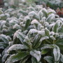 Frosted_Calceolaria.jpg