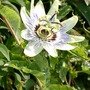 Passion flower out at last! (Passiflora caerulea (Passion flower))