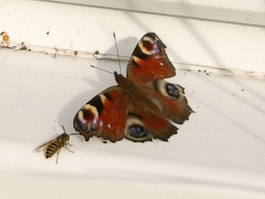 Peacock butterfly having a breather after Pops tore her wing!