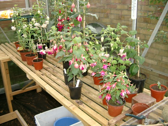 Ian's fuschias being trained as standards for next year.