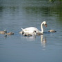 Swans again