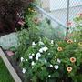 Wildflowers, Echinacia and Lavatera