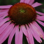 "Purple Coneflower (Echinacea purpurea (Coneflower) ""Magnus"")"