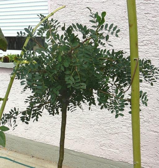 Caragana in August (Caragana arborescens pendula)