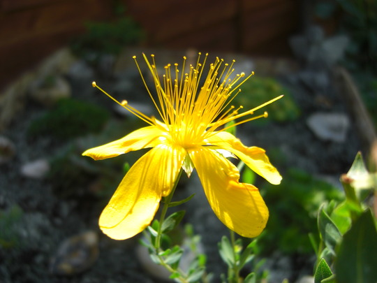 Alpines Hypericum 1 (Hypericum Polyphyllum)